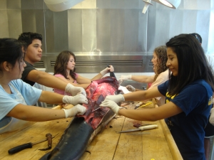 Sea Stars to Quasars teens dissecting a dolphin with Associate Curator of Vertebrate Zoology Michelle Berman.